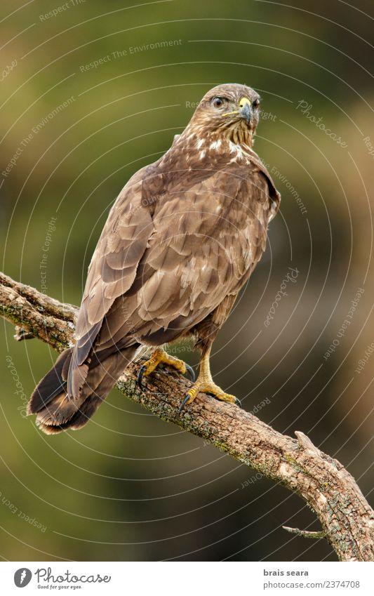 Mäusebussard Biologie Ornithologie Umwelt Natur Tier Baum Wald Wildtier Vogel Tiergesicht Flügel Greifvogel 1 Tierliebe Avenue Wirbeltier Wirbeltiere Tiere