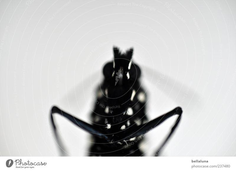 Ich komme in Frieden! weiß schön Tier schwarz Wildtier außergewöhnlich natürlich ästhetisch einfach nah Tiergesicht Insekt Schmetterling Edelfalter Monarch