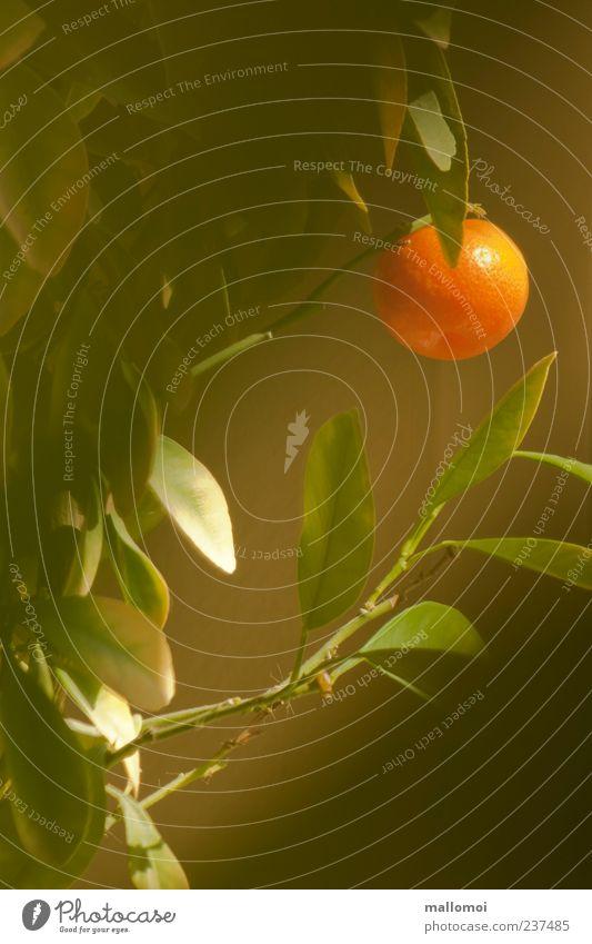 Manderine hängt an Zweig Manderinenbaum Orange Mandarine Zitrusfrüchte Südfrüchte Zierpflanze Orangenbaum einzigartig Vitamin C Blatt Zimmerpflanze Frucht