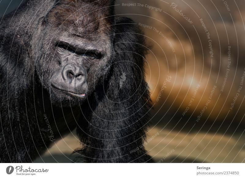 Gorillaportrait Tier Wildtier Tiergesicht Fell Krallen Pfote Fährte Zoo 1 beobachten Silberrücken Affen Farbfoto mehrfarbig Außenaufnahme Detailaufnahme