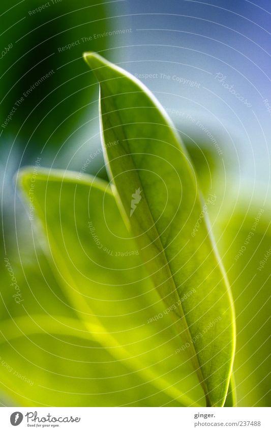 aufgeblättert Pflanze Blatt grün Blattadern Licht durchscheinend nebeneinander Blattgrün Nahaufnahme Makroaufnahme Detailaufnahme Sonnenlicht Farbfoto