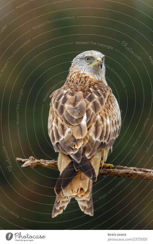 Rotmilan Wissenschaften Umwelt Natur Tier Wald Wildtier Vogel Roter Milan 1 frei natürlich braun grün Tiere Avenue Tierwelt Wirbeltier Wirbeltiere Akkordata