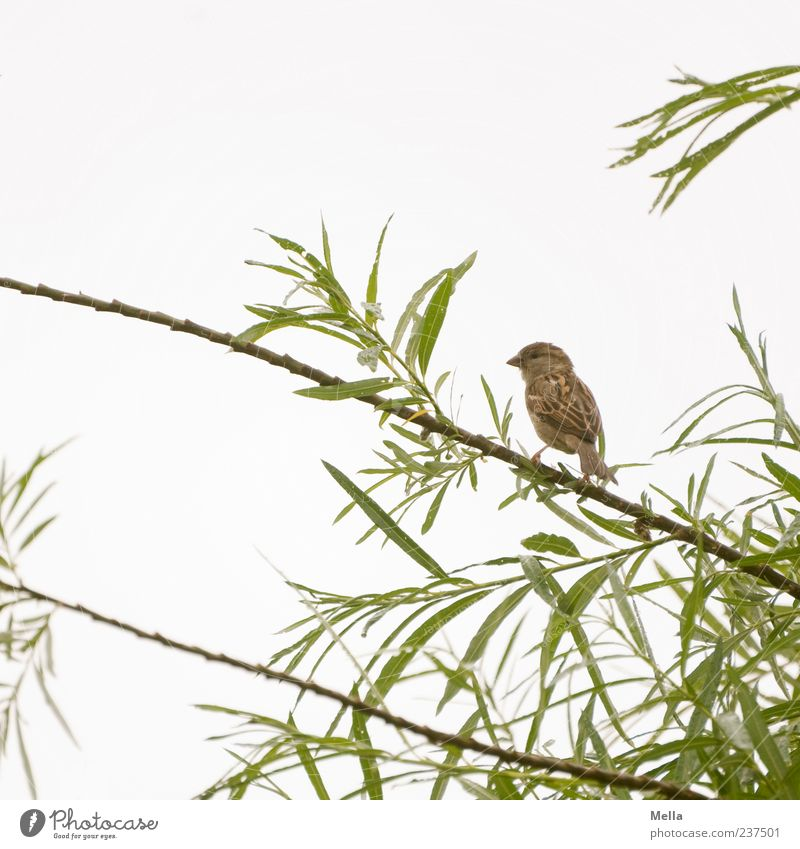 Spatzenfrühling Umwelt Natur Pflanze Tier Himmel Baum Blatt Grünpflanze Ast Vogel 1 Blick sitzen klein natürlich niedlich Farbfoto Außenaufnahme Menschenleer