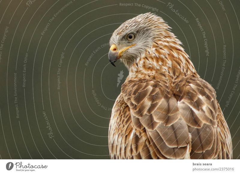 Natur Tier Umwelt Freiheit Vogel braun elegant Wildtier Europa Spanien Wissenschaften Europäer Tiergesicht Tierliebe Adler Greifvogel