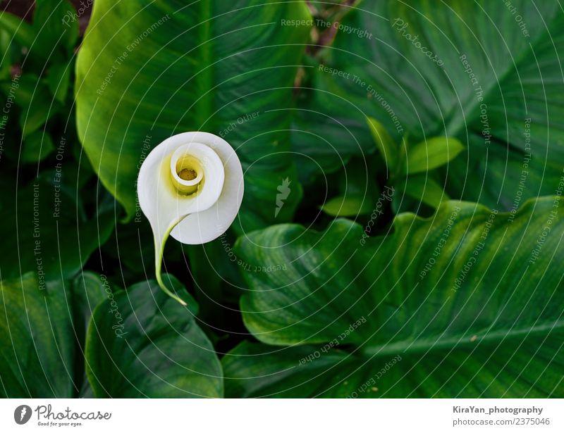 Blühen Sie die Blume der Calla in grünen Blättern. elegant exotisch schön Sommer Garten Natur Pflanze Blatt Blüte Wachstum frisch hell natürlich neu gelb weiß