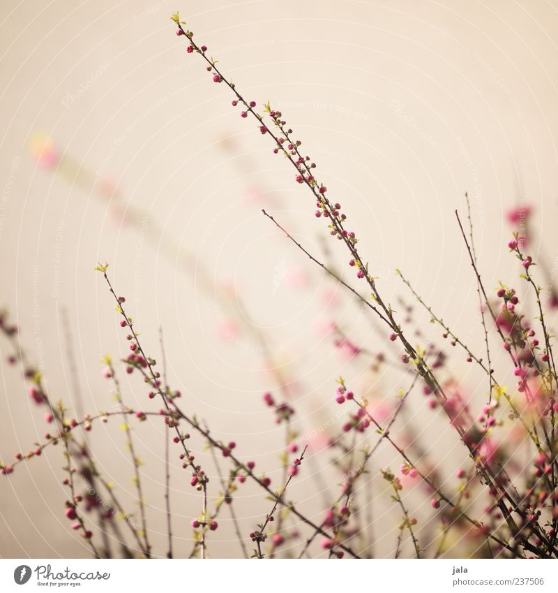 zart verzweigt Natur schön Pflanze Frühling Blüte braun rosa Sträucher Frühlingsgefühle