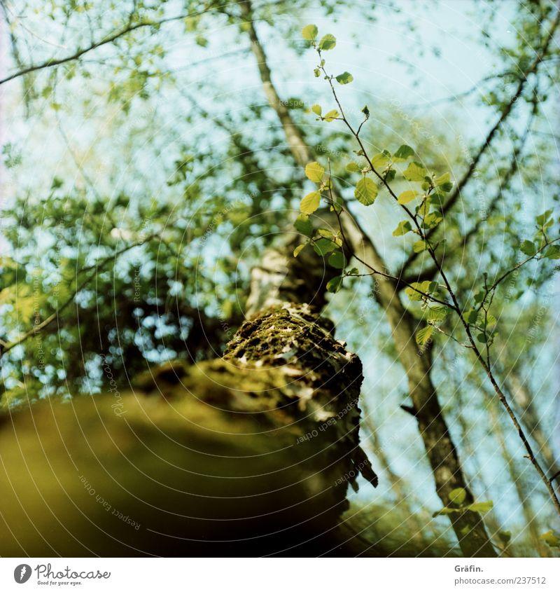 Im Moor Frühling Baum Blatt Blüte Wald Blühend Wachstum blau grün Kraft Idylle Natur Umwelt Baumstamm Farbfoto Außenaufnahme Menschenleer Schwache Tiefenschärfe