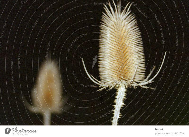 Nachtgewächs (2) Pflanze dunkel Stachel stachelig