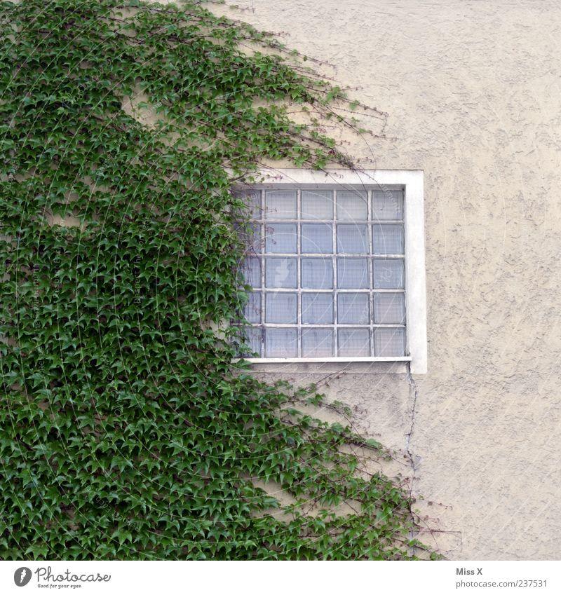 zugewachsen grün Pflanze Fenster Wand Mauer Fassade Wachstum Sträucher Efeu Ranke Glasbaustein