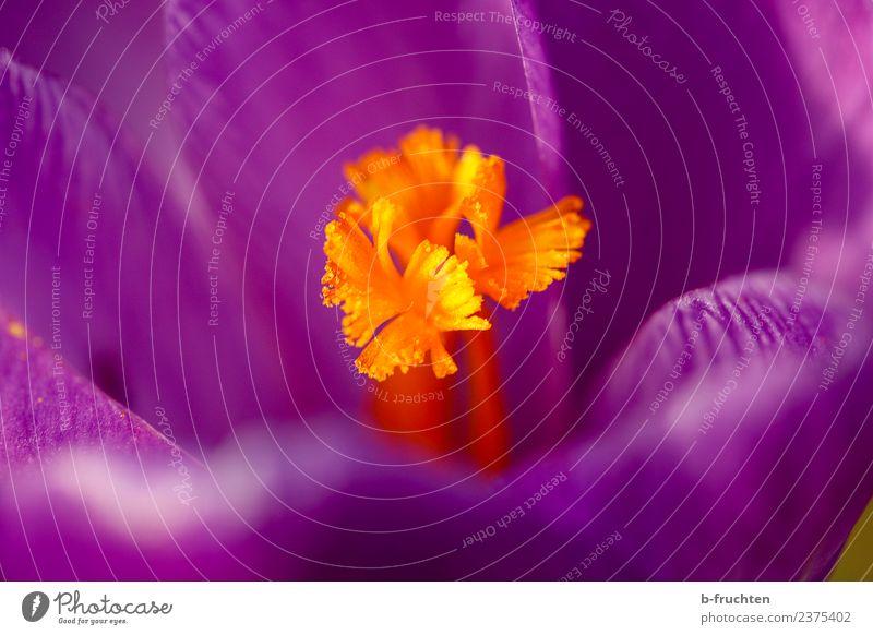 Krokus Natur Blume Blüte violett orange Krokusse Frühling schön Frühlingsblume Frühlingskrokus Garten Farbfoto Außenaufnahme Nahaufnahme Makroaufnahme