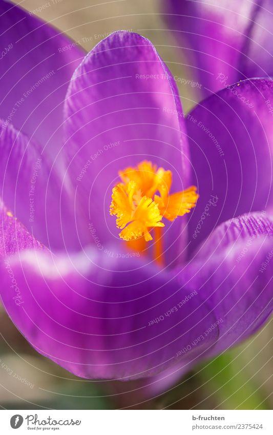 Krokus im Detail Frühling Pflanze Blume Blüte Blühend violett orange Krokusse Frühlingskrokus Blütenkelch Wachstum Außenaufnahme Menschenleer