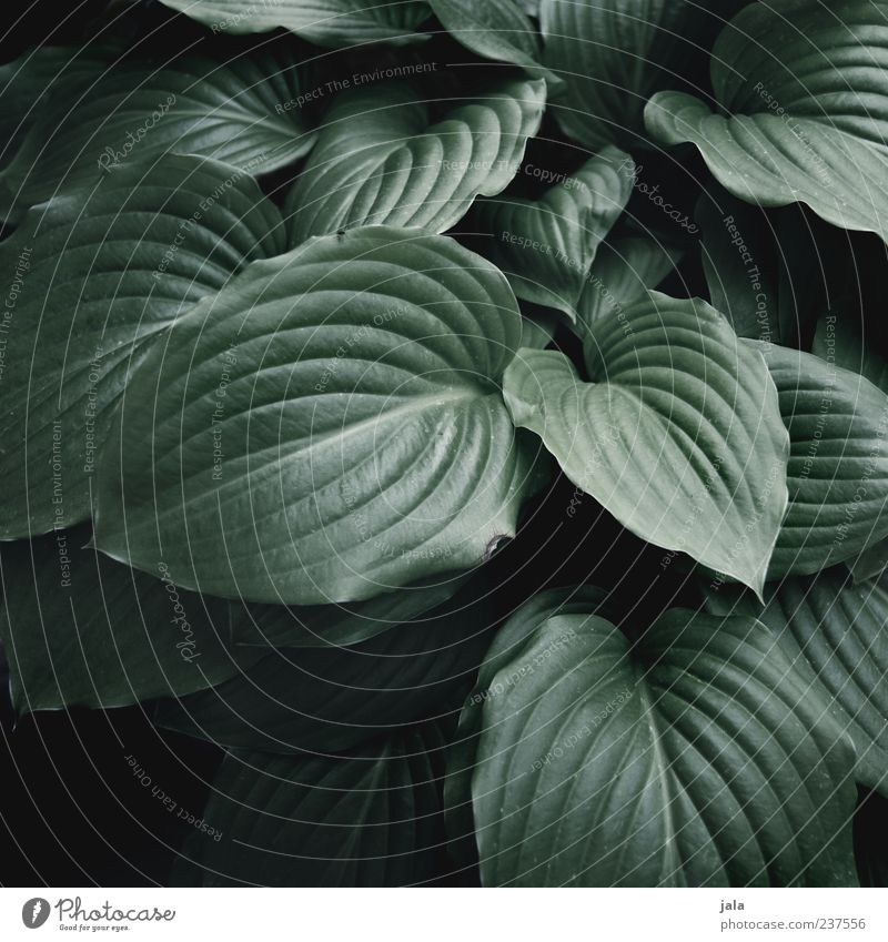 hosta Natur Pflanze Blatt dunkel ästhetisch Grünpflanze Stauden Topfpflanze Blütenstauden Hosta