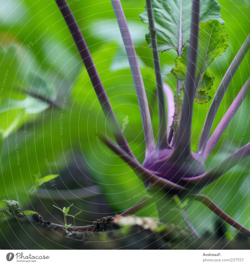 Bio Natur grün Ernährung Lebensmittel frisch Gesunde Ernährung violett Gemüse Bioprodukte Bildausschnitt Anschnitt Vegetarische Ernährung Makroaufnahme Kohl biologisch Umwelt