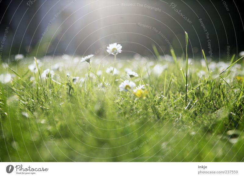 Wiesenromantik 1 Pflanze Sonnenlicht Frühling Sommer Schönes Wetter Gras Gänseblümchen Rasen Blühend leuchten hell natürlich grün weiß Frühlingsgefühle