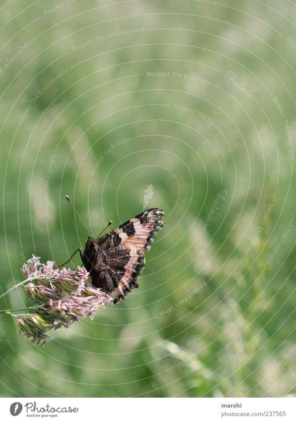 Wiesenmodel Natur grün Pflanze Sommer Tier Wiese Frühling Garten sitzen natürlich Schmetterling Fühler flattern