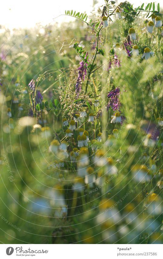 Hummelparadies Natur Pflanze Sommer Blume Gras Blatt Blüte Wildpflanze Kamillenblüten Wiese natürlich gelb grün violett weiß Farbfoto mehrfarbig Außenaufnahme