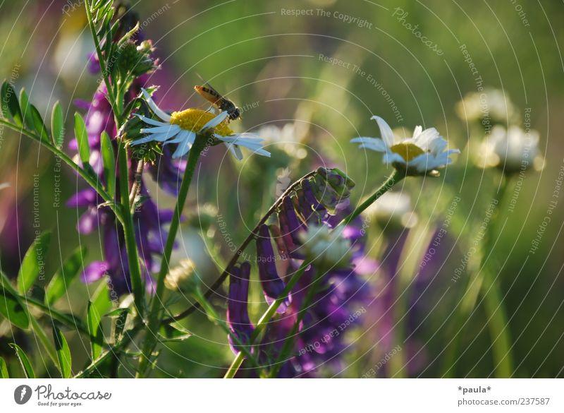 Sommer Landschaft Pflanze Blume Gras Wildpflanze Kamillenblüten Wiese Fliege 1 Tier natürlich gelb grün violett weiß Lebensfreude Duft Farbfoto mehrfarbig
