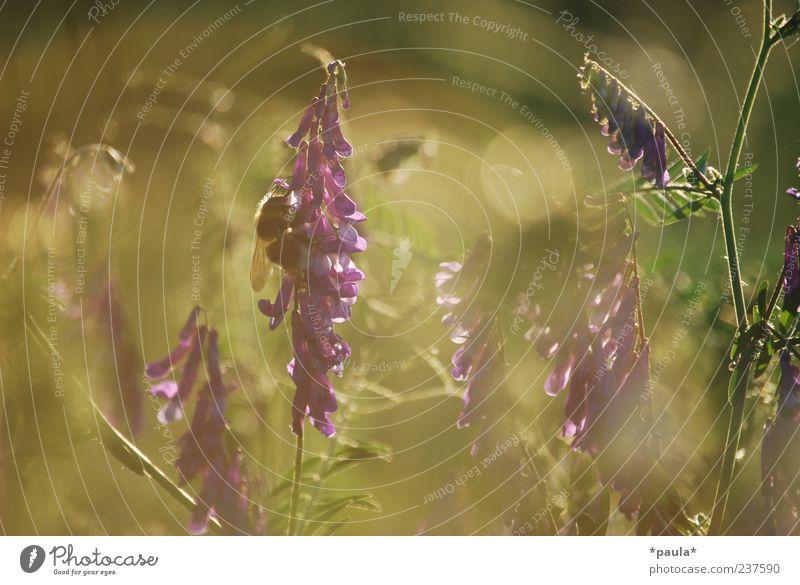 Ein Moment Pflanze Sonnenaufgang Sonnenuntergang Sonnenlicht Sommer Blume Gras Wildpflanze Wiese Wildtier Hummel 1 Tier natürlich braun grün violett