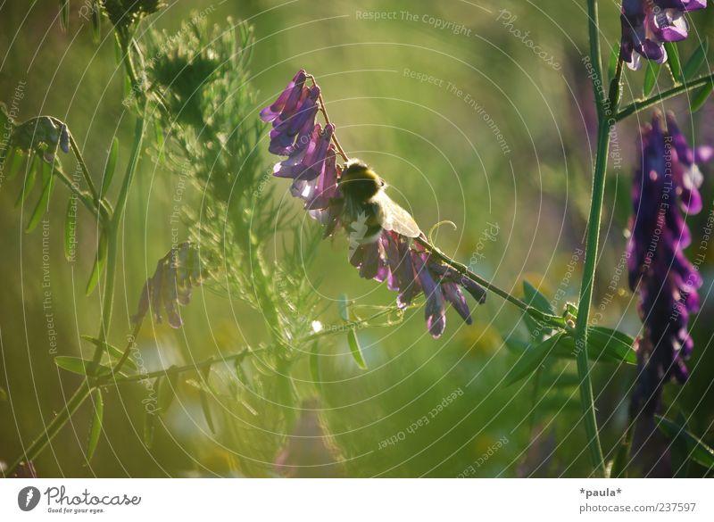 Ein Augenblick Natur Blume grün Pflanze Sommer Blatt Tier gelb Wiese Blüte Gras Umwelt weich violett natürlich Hummel