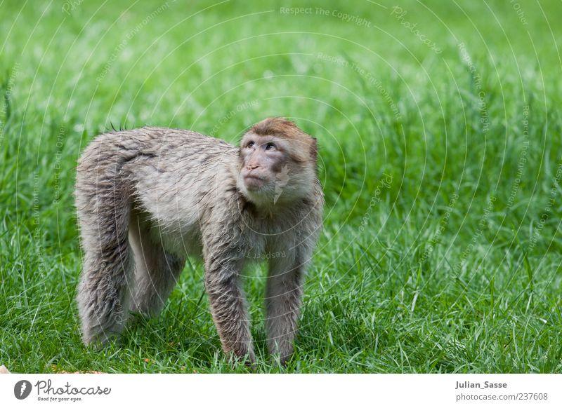 Berberaffe Affen Berberaffen Zoo Gras Wiese Rasen grün Hilfesuchend Goldener Schnitt Außenaufnahme Tierjunges Ganzkörperaufnahme Fell Blick Tierporträt 1 stehen