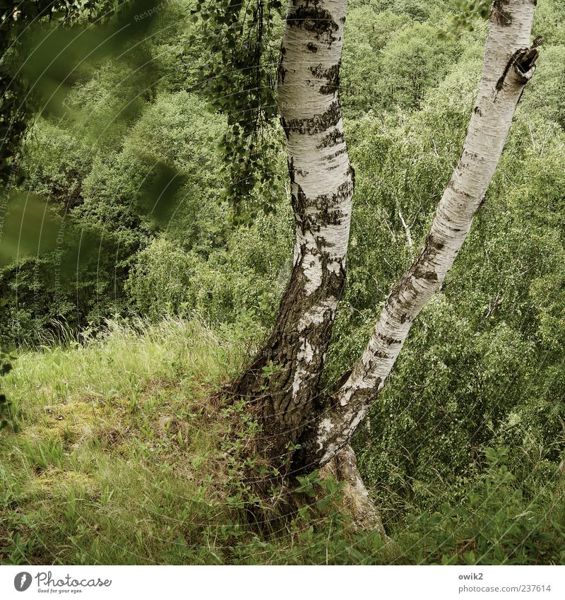 Grüner Wind Umwelt Natur Landschaft Pflanze Luft Klima Wetter Schönes Wetter Baum Blatt Grünpflanze Wildpflanze Birke Birkenblätter Birkenrinde Wald Bewegung