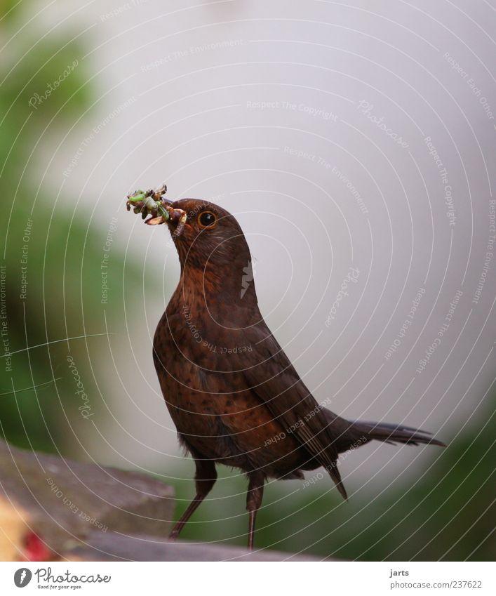 dinner Natur Tier Wildtier Vogel 1 Blick frei füttern Futter Wurm Protein Insektenlarve Amsel Farbfoto Außenaufnahme Nahaufnahme Menschenleer