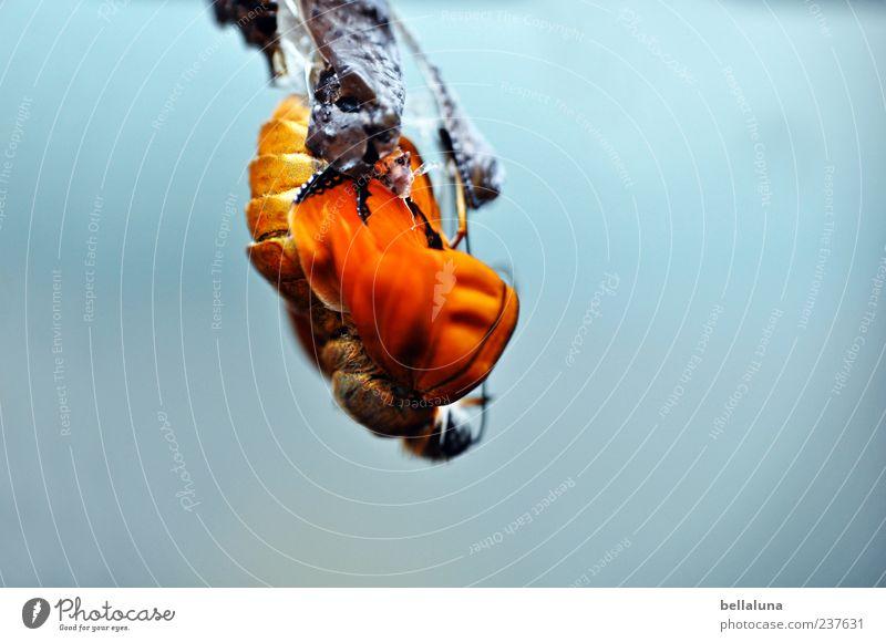 Die Geburt der Dryas Iulia. Natur schön Tier Tierjunges hell orange Wildtier elegant außergewöhnlich natürlich frei ästhetisch Flügel einzigartig nah