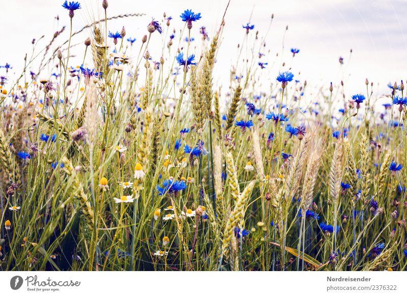 Kornblumen im Feld Natur Pflanze Sommer Landschaft Blume Herbst Blüte Lebensmittel Zufriedenheit frisch Idylle authentisch Freundlichkeit Kräuter & Gewürze