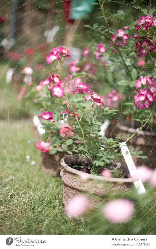love for sale elegant Stil Garten Natur Pflanze Frühling Blume Rose stehen Freundlichkeit Fröhlichkeit frisch schön einzigartig natürlich grün rosa Gärtnerei