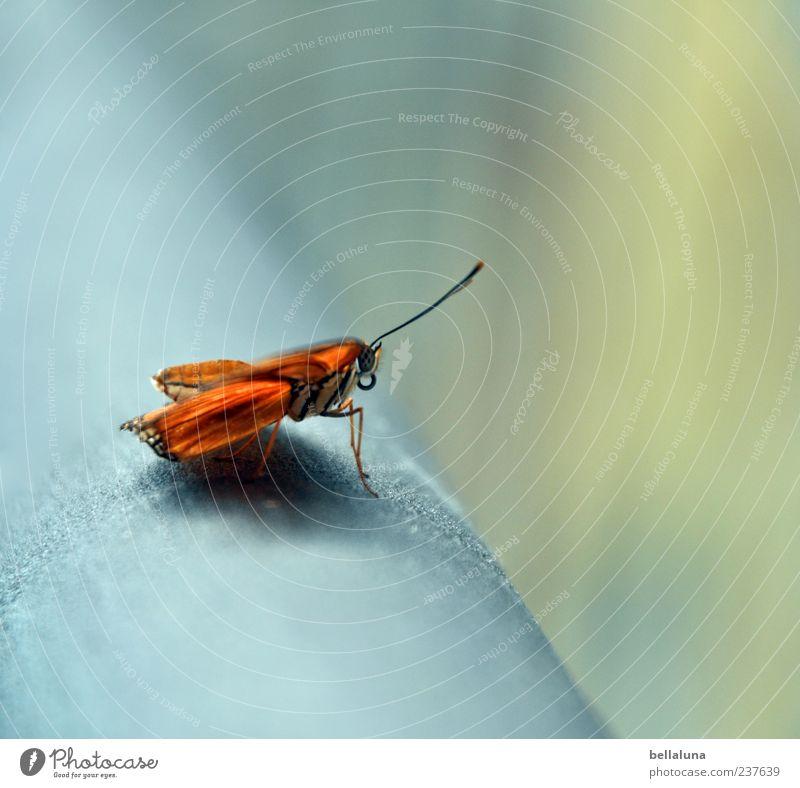 Dryas Iulia Natur schön Tier Umwelt Metall hell orange Wildtier elegant sitzen außergewöhnlich natürlich frei ästhetisch Flügel einzigartig