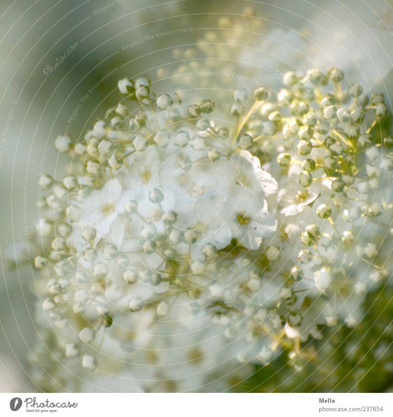 Ganz in weiß Umwelt Natur Pflanze Frühling Sommer Blume Blüte Blühend Wachstum schön natürlich grün elegant Wandel & Veränderung Doppelbelichtung Blütenknospen