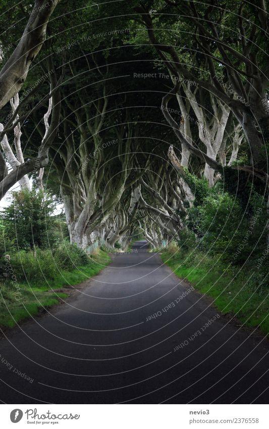 Die 'Dunklen Hecken' / 'Dark Hedges' in Nordirland Natur Pflanze schön grün Landschaft Baum Wald dunkel Straße Umwelt Hintergrundbild Frühling Wege & Pfade
