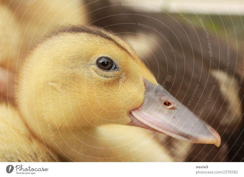 Neugieriges Entenküken Umwelt Tier Haustier Nutztier Wildtier Tiergesicht Zoo Streichelzoo 1 Tierjunges Glück schön natürlich niedlich positiv klug gelb