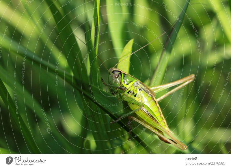 Grashüpfer auf Grashalm Natur Pflanze grün Tier Blatt Umwelt Wiese Garten Park Feld Wildtier Sträucher Insekt Stengel Halm Vorfreude