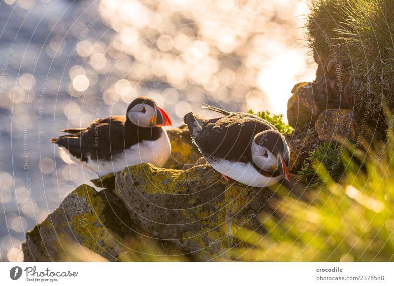Puffin IV Papageitaucher Látrabjarg Vogel Gegenlicht Mitternachtssonne Island Klippe Felsen niedlich orange Schwache Tiefenschärfe Schlucht Am Rand Feder
