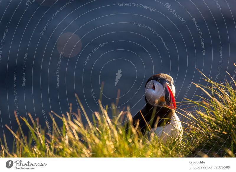 Puffin VI Papageitaucher Látrabjarg Vogel Gegenlicht Mitternachtssonne Island Klippe Felsen niedlich orange Schwache Tiefenschärfe Schlucht Am Rand Feder