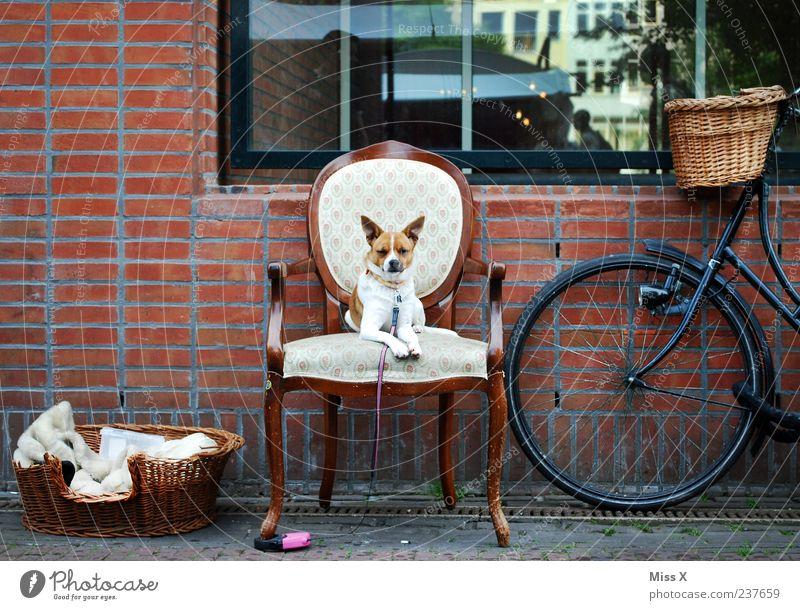 Der kleine König - ultimatives Lieblingsfoto Hund Tier Fenster Wand Mauer lustig Fahrrad warten sitzen Stuhl Kitsch Möbel Haustier Stolz herrschaftlich