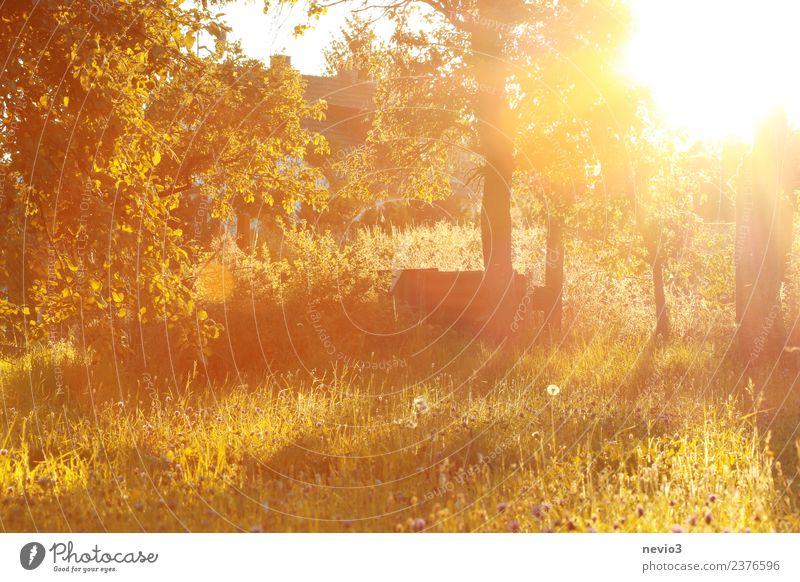 Lichtdurchfluteter Garten beim Sonnenaufgang Umwelt Natur Landschaft Sommer Pflanze Baum Blume Gras Sträucher Blüte Grünpflanze Nutzpflanze gelb gold