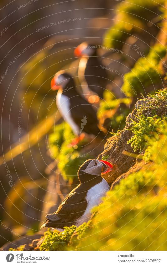 Puffin III Papageitaucher Látrabjarg Vogel Gegenlicht Mitternachtssonne Island Klippe Felsen niedlich orange Schwache Tiefenschärfe Schlucht Am Rand Feder