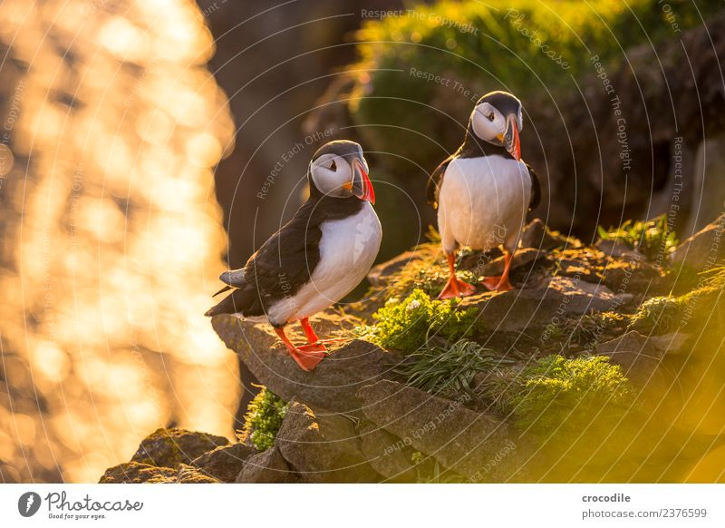 Puffin II Papageitaucher Látrabjarg Vogel Gegenlicht Mitternachtssonne Island Klippe Felsen niedlich orange Schwache Tiefenschärfe Schlucht Am Rand Feder