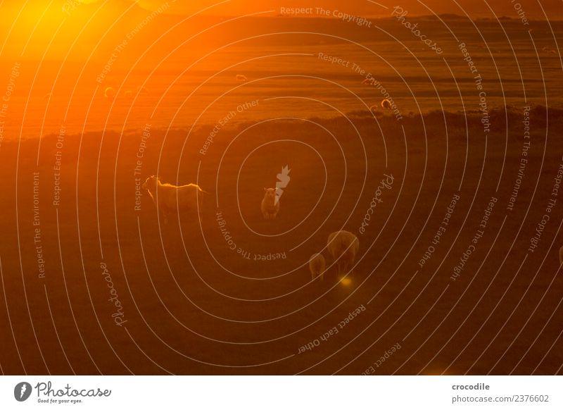 Mäh V Tier Schaf Lamm Herde Tierjunges Tierfamilie Gelassenheit Farbfoto Gedeckte Farben Außenaufnahme Dämmerung Licht Kontrast Sonnenaufgang Sonnenuntergang
