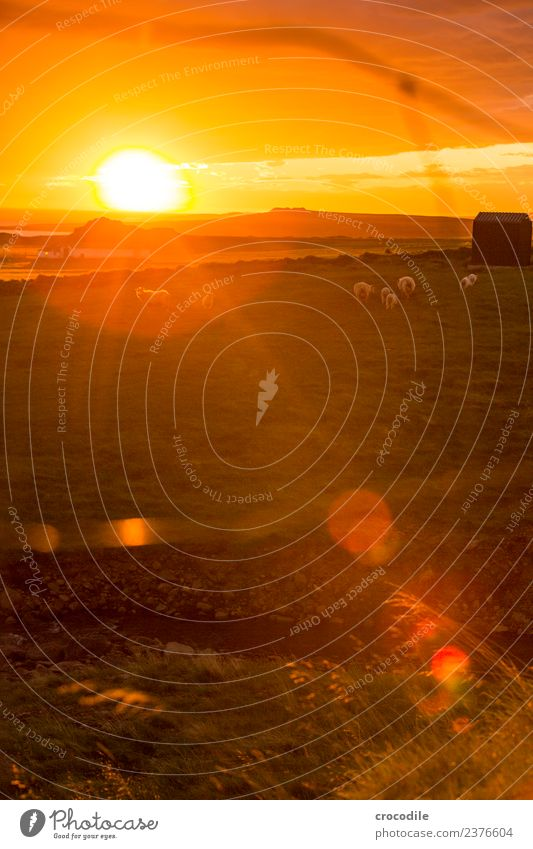 Mäh IV Tier Schaf Lamm Herde Tierjunges Tierfamilie Gelassenheit Farbfoto Gedeckte Farben Außenaufnahme Dämmerung Licht Kontrast Sonnenaufgang Sonnenuntergang