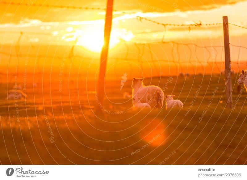 Mäh III Tier Schaf Lamm Herde Tierjunges Tierfamilie Gelassenheit Farbfoto Gedeckte Farben Außenaufnahme Dämmerung Licht Kontrast Sonnenaufgang Sonnenuntergang