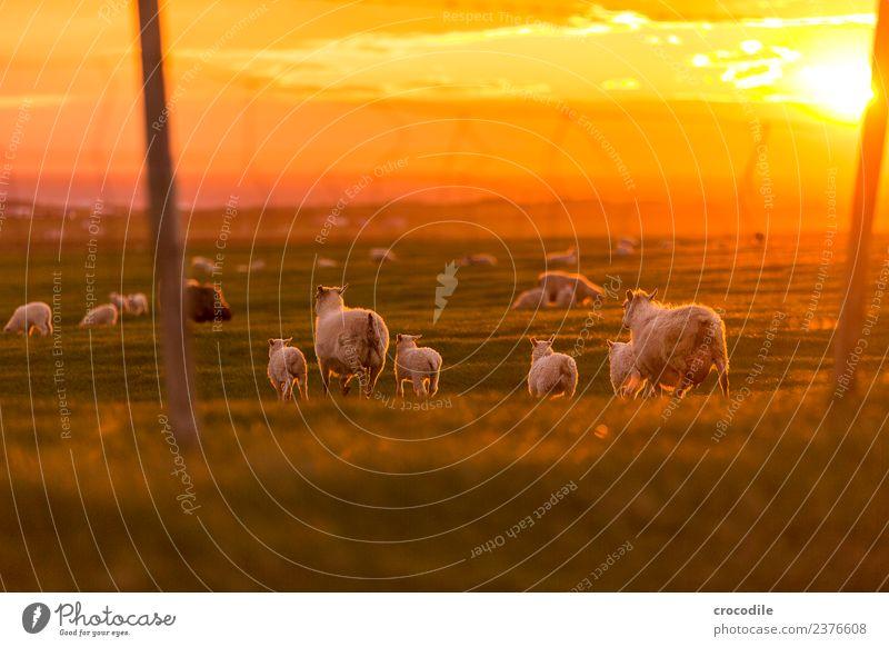 Mäh II Tier Schaf Lamm Herde Tierjunges Tierfamilie Gelassenheit Farbfoto Gedeckte Farben Außenaufnahme Dämmerung Licht Kontrast Sonnenaufgang Sonnenuntergang