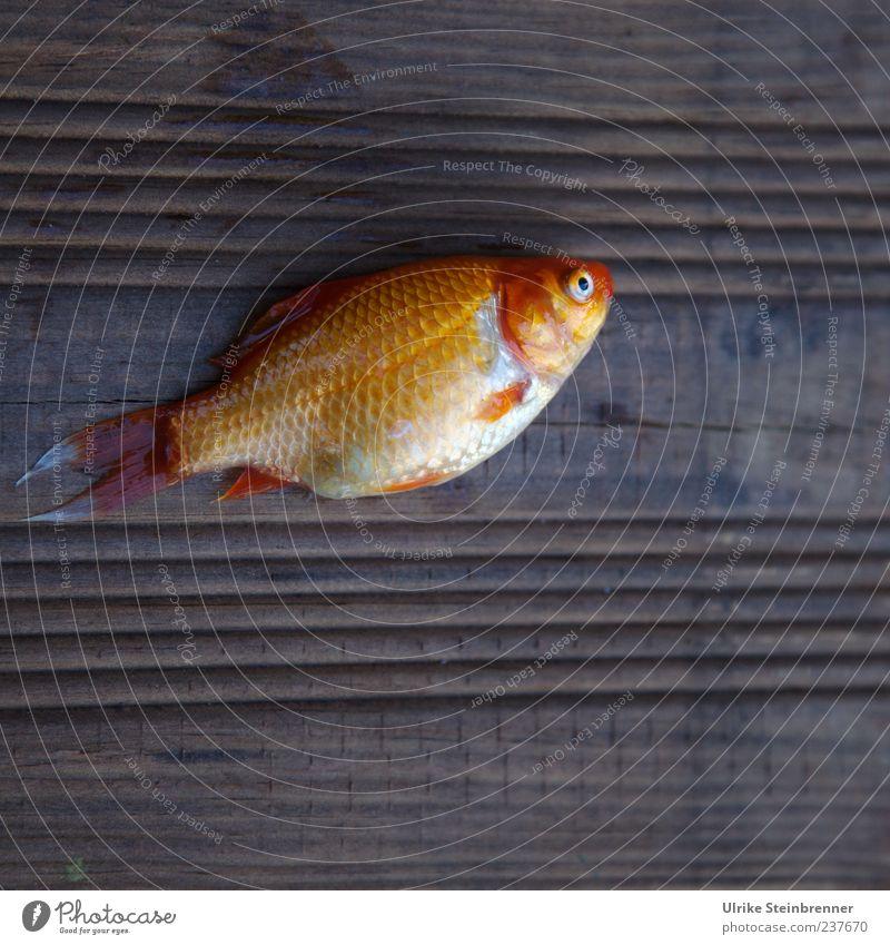 Hitzeopfer Tier Haustier Totes Tier Fisch Schuppen Goldfisch Karpfen Koi 1 Tierjunges liegen gelb gold Traurigkeit Tod Umwelt Balken Teak Opfer Jungfisch schön
