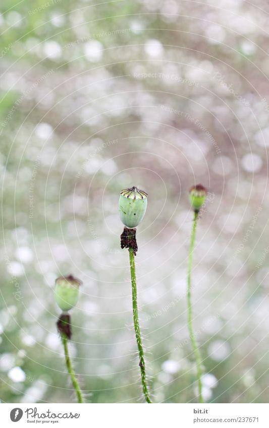 blattloser Mohnkopf... Natur Ferien & Urlaub & Reisen grün Pflanze Sommer Erholung Blume ruhig Wiese Frühling Gesundheit Feste & Feiern Garten Gesundheitswesen