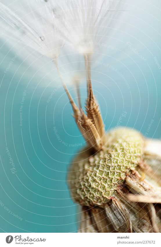 drei Härchen Natur Pflanze Blume 3 weich Löwenzahn Samen vertrocknet welk verblüht Nahaufnahme Makroaufnahme