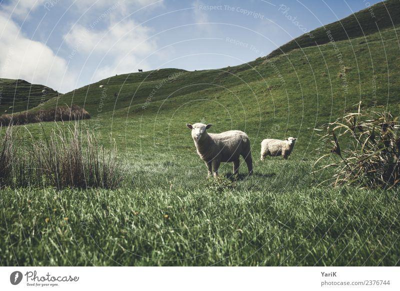 Neuseeland Natur Ferien & Urlaub & Reisen Pflanze Sommer grün Landschaft Tier Ferne Wiese Gras Tourismus Freiheit Ausflug wandern Abenteuer Wind