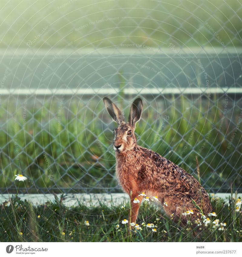 Mein Name ist Hase ... Natur schön grün Tier Umwelt Wiese natürlich außergewöhnlich braun wild sitzen Wildtier niedlich Neugier Ostern Fell
