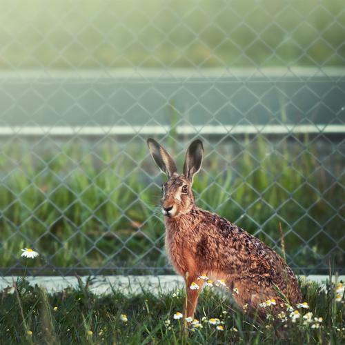 Mein Name ist Hase ... Ostern Umwelt Natur Tier Wiese Wildtier Tiergesicht 1 außergewöhnlich schön natürlich niedlich wild braun grün Neugier Zaun